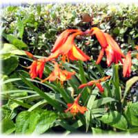 暑苦しく感じる花(^^♪見た目もすごい 朱色が鮮やかな「ヒメヒオギズイセン(姫檜扇水仙)」
