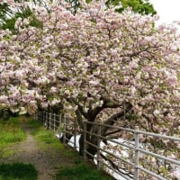 五ケ所川河畔の牡丹桜