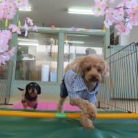 新入犬の【こてつくん】&【ララちゃん】 犬のしつけ教室@アロハドギー