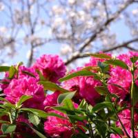 桜とシャクナゲのコラボ