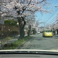 鎌倉・逗子ハイランド 桜   №1