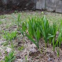 庭の植物が芽を出しました