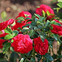 よく咲くバラ レッドキャプテン