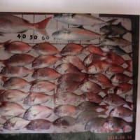 福井・日向沖でマダイ大漁