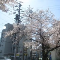 出先の街の  染井吉野