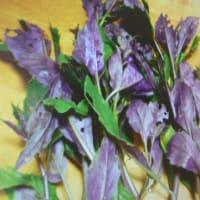 おばさんの料理教室No.3548 金時草の収穫