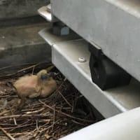 議員控室のベランダに鳩が巣を作っています。でも卵ひとつ放置…(涙)