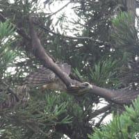 サシバ 幼鳥 飛翔