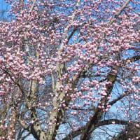 2020お花見1。 (3/26*木)