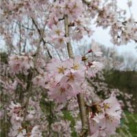 里山の枝垂れ桜満開&マムシグサ新芽が出てきた