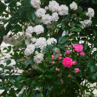 5月の花たち
