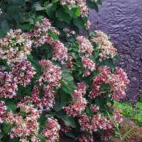 クサギの花にオオスカシバ