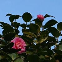 ツバキの花がい〜っぱい・・・