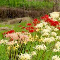 山と田んぼの境に咲く彼岸花