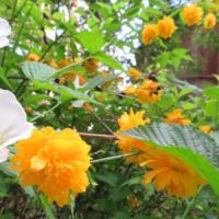 4/6 エリア6:ヤマブキ2色とシャガの花