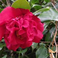 大きな八重椿と花ニラ
