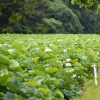 福岡城址の蓮の花