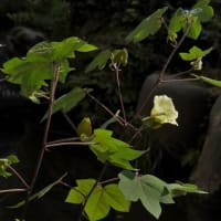 オクラ に似ている ワタ の花