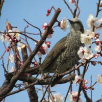 満開の梅花とムクドリ・ヒヨドリ