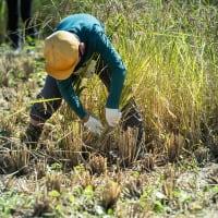 【Oct_15】八条小の稲刈り
