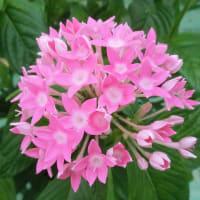 ペンタスの花は