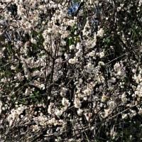 キンカン;ホシノヒトミ(ルリカラ草):梅の花;ホトケノザ