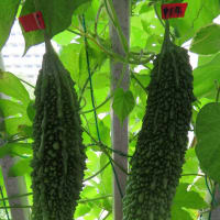 2020年8月前半のゴーヤ日記 8/2、8/5:11、12個目収穫、8/4、8/5:雌花に受粉