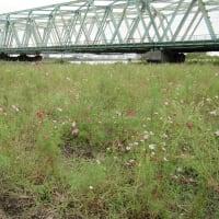 荒川の河川敷のコスモス   台風に耐えて花が残っていた