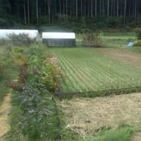 台風経過後の自然菜園
