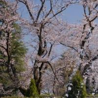 【桜】市川の里見公園と真間川の桜 Cherry blossoms at Satomi Park and Mama-gawa River, Ichikawa【X-T4/XC50-230】