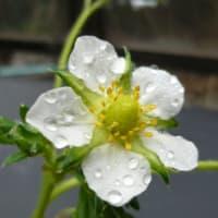 いちご(越後姫)の花
