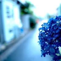 雨待ちの 紫陽花みつけ 雪の下  <殿>