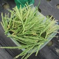 トウモロコシ「おおもの」 収穫予定は7月11~16日