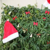 緑のカーテン、やってます。【クリスマス編】