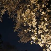 街の灯りで夜桜見物
