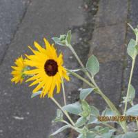 彼岸花が良く咲いている・・・・・。 久し振りに、花ちゃんの散歩に行きました・・・。