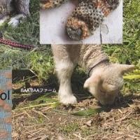 山口ウール展、山口県で飼われている羊の毛を使った作品を出品