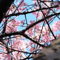 カワヅザクラ     風までさくらいろ       千葉県市川市行徳・野鳥の楽園