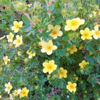 高山植物をラソラ札幌で見つける <お花で一休み(73)>