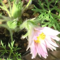 セイヨウオキナグサ・プルサティラの花は