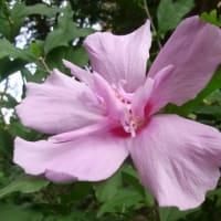 9/15 花壇のムクゲの花