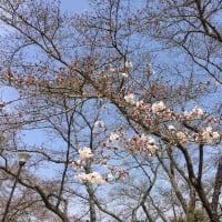 奈良五条市の桜