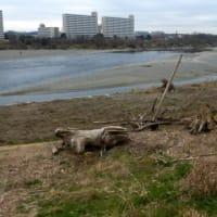 流木アート?…多摩川水害その後