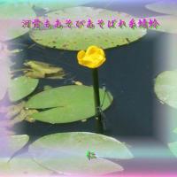 『 河骨もあそびあそばれ糸蜻蛉 』フォト筑紫風575zrq1708