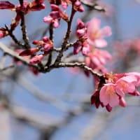 鴨川河川敷と長徳寺のおかめ桜