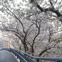桜は歩きながら