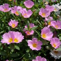 「おはようの花」 ポーチュラカ 6月