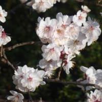 梅の花の季節だが…多摩川冬景色シリーズ