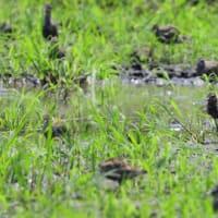 草の陰に、散らばっていたムナグロ。