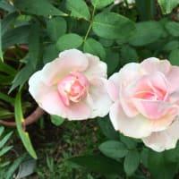 iPadでアップ 今日の薔薇